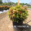 Astilbe chinensis 'Visions'