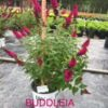 Buddleia x 'Miss Molly' (PP 23,475)