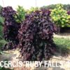 Cercis canadensis 'Ruby Falls' (PP 22,097)