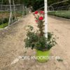 Hardy Shrub Rose Knock Out® (PP 11,836)